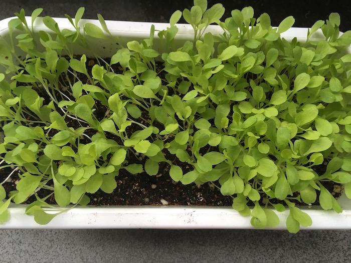 lettuce-12
