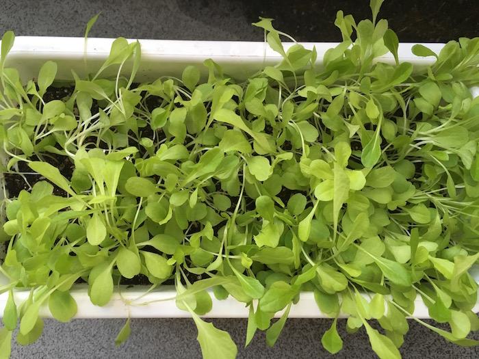 lettuce-15