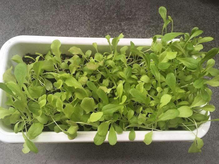 lettuce-19
