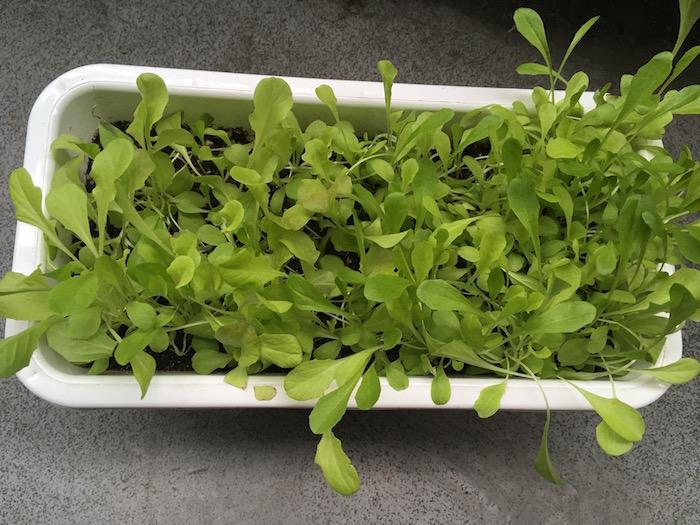 lettuce-20