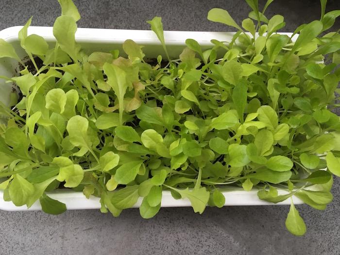 lettuce-22