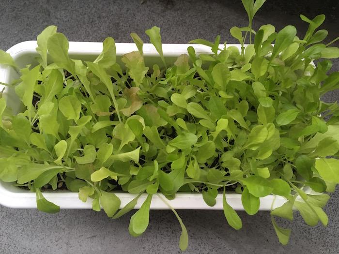 lettuce-23
