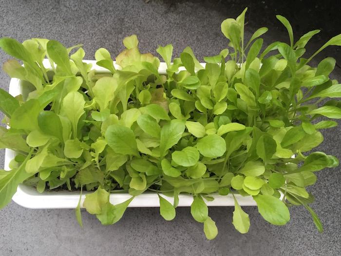 lettuce-26