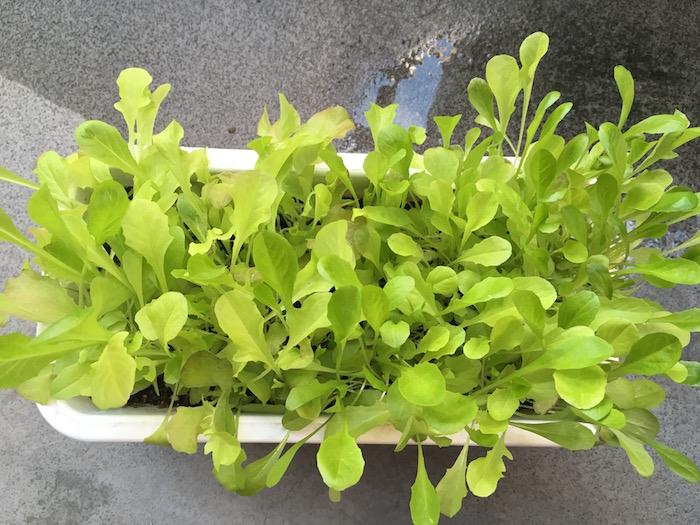 lettuce-27