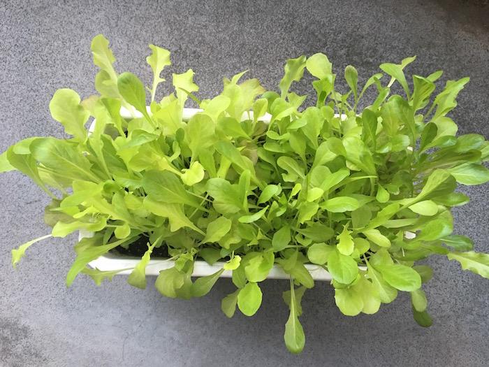 lettuce-29