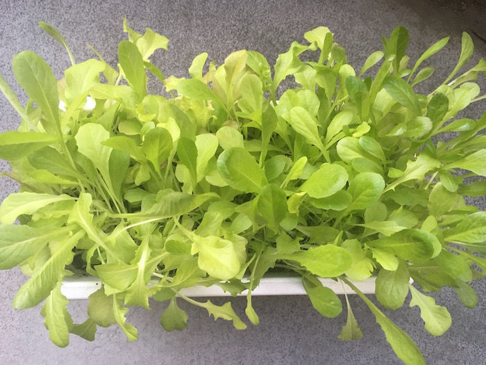 lettuce-30