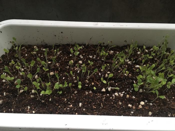 lettuce-5